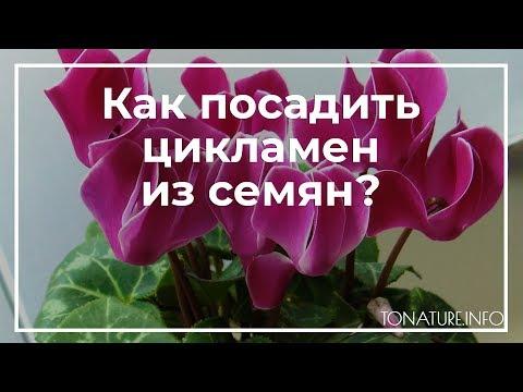 Как посадить цикламен из семян? | toNature.Info