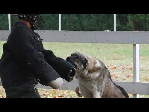 Central Asian Shepherd Dog fights versus Man – TEST 48. – Kitana