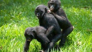 İnsan Gibi Çiftleşen Maymunlar Top 10 #hayvançiftleşmeleri #maymunçiftleşmesi