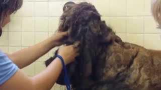 あまりにも酷過ぎる飼育放棄 Animal Neglect【プードルのボランティア・トリミング②】 thumbnail