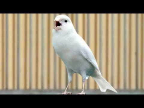 Download Lagu Burung Kenari Juara Nasional Ngerol Panjang|| F1 || YorkShire || AF || Lokal || Betina