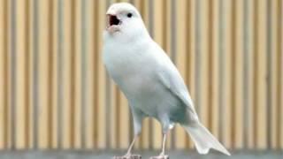 Gambar cover Burung Kenari Juara Nasional Ngerol Panjang|| F1 || YorkShire || AF || Lokal || Betina