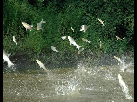 Midwest Battles To Keep Invasive Asian Carp Out Of The Great Lakes