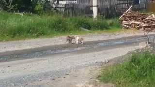 Деревенские коты дерутся