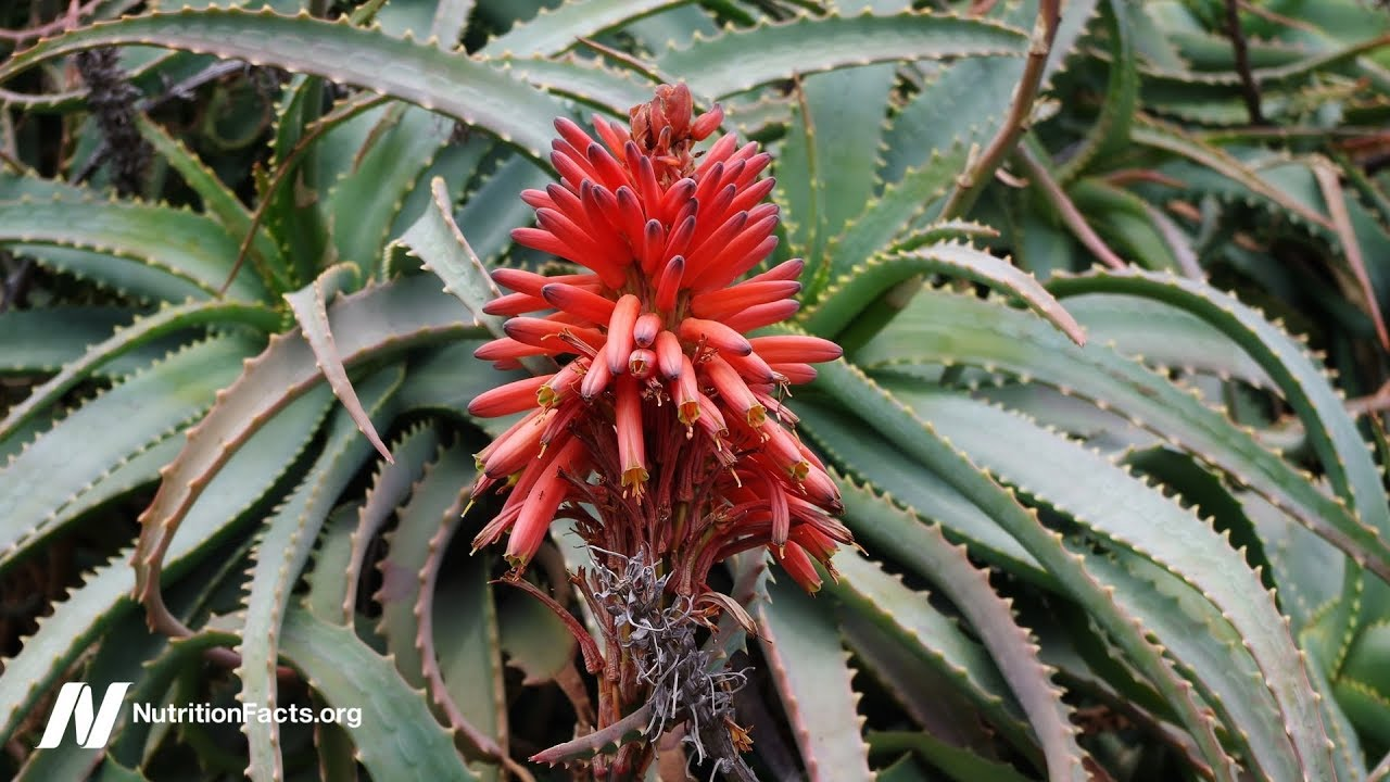 Can Aloe Cure Cancer?