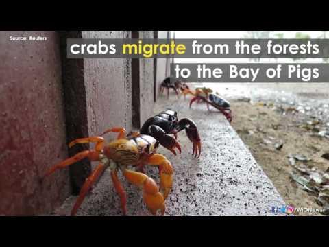 Crabs invade Cuba