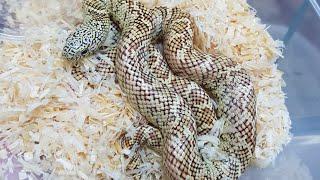뱀들의왕 킹스네이크 키워보쉴?