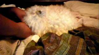 Toy Poodle Gives Birth