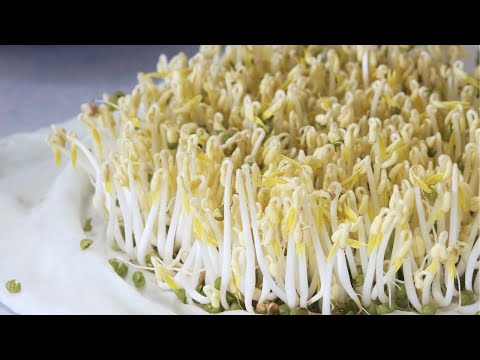 How To Grow Bean Sprouts (and Make Bean Sprout Salad)