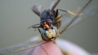LIFE IN UKRAINE. Война насекомых. Оса распиливает стрекозу. Yellow jacket disassembles dragon fly