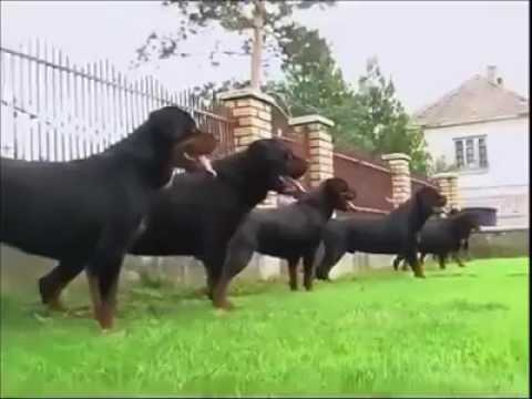 Rottweiler training how ferricious it was friendly sometimes