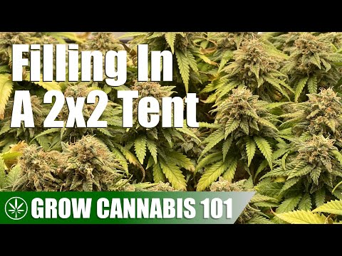 Filling Out a 2×2 Tent With One Cannabis Plant
