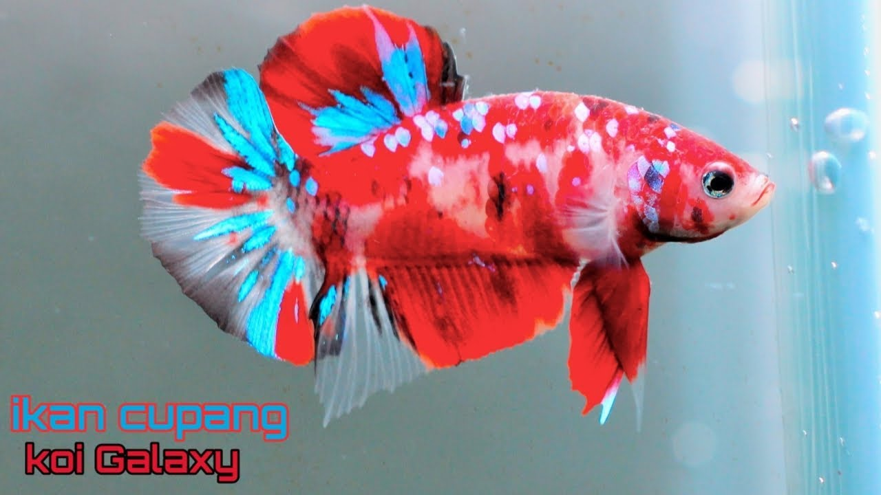 Unplastixing Ikan Cupang Koi Galaxy Youtube
