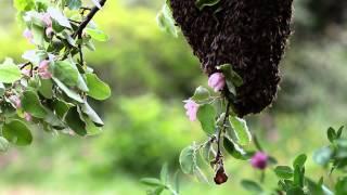 essaimage au printemps sur un cognassier en fleur....j