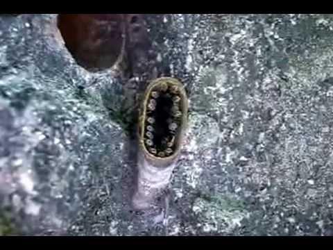 Nannotrigona  testaceicornis  (Lepeletier)