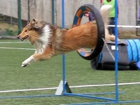 Slow motion video - collie rough Hopsinka in agility