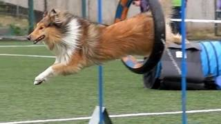 Slow motion video  collie rough Hopsinka in agility