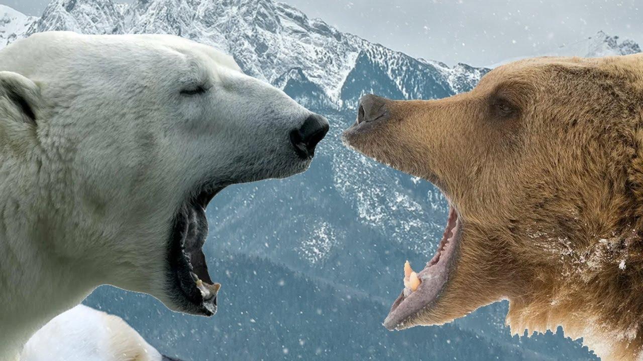 Бурый медведь против белого медведя. Кто сильнее белый медведь или бурый медведь?
