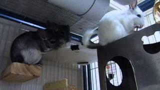 Funny and cute chinchilla videos.Chinchilla care.Chinchilla lustige Videos.