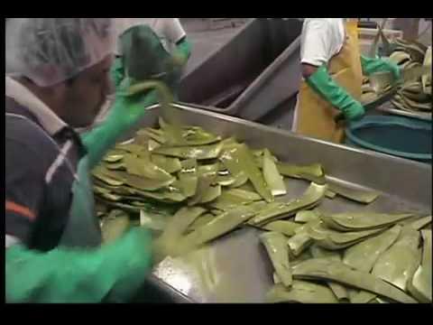 USAloe - The Organic Aloe Vera (RealAloe) Process - Free Aloe Drink