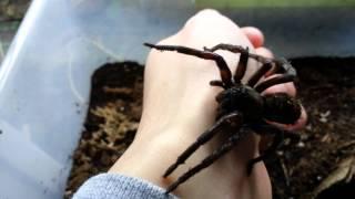 Giant Wolf Spider Handling Video