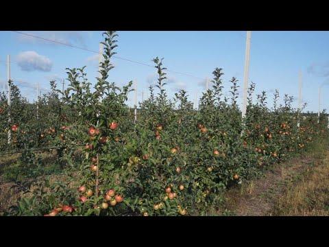 Интенсивный сад яблони 2020