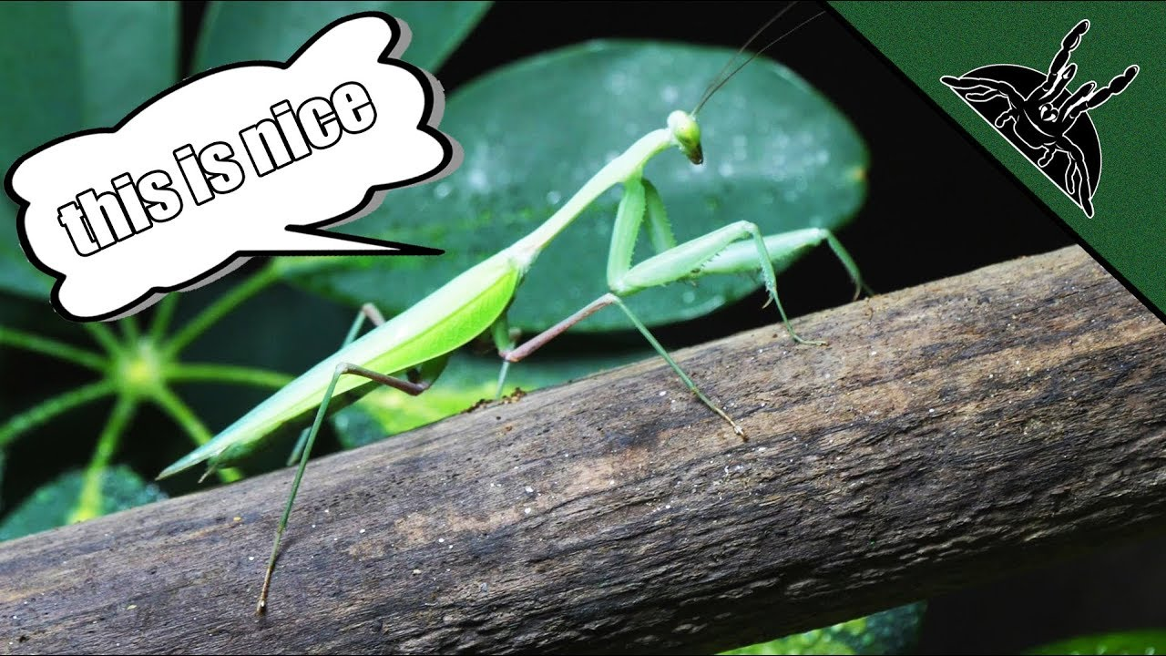 mantis-shoots-giant-asian-mantis