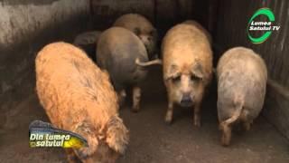 Profit garantat - porcii Mangalița la Marin din Bolintin