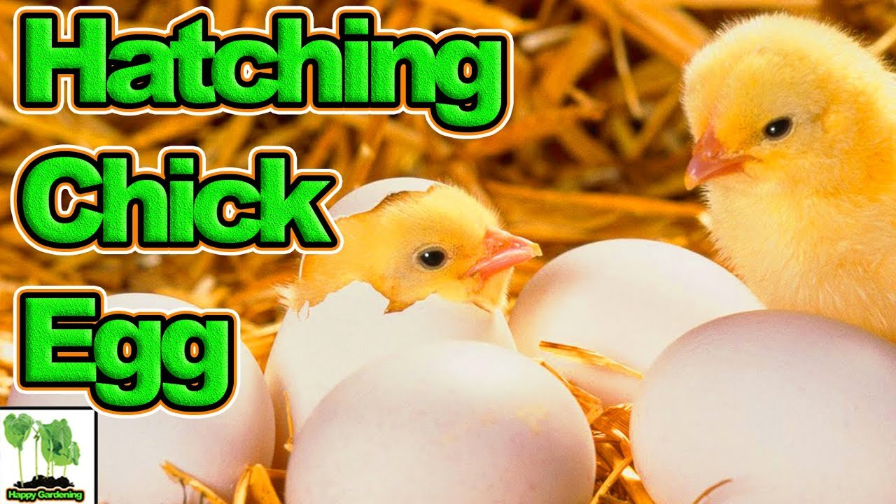 Chicks Hatching Out Of Eggs