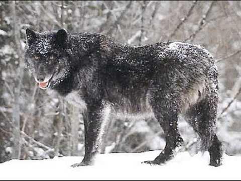 Todas las especies de lobos