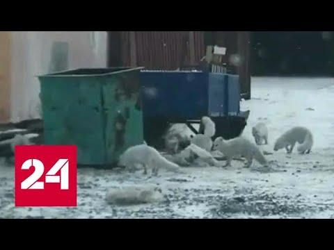 Песцы наводнили красноярскую Дудинку - Россия 24
