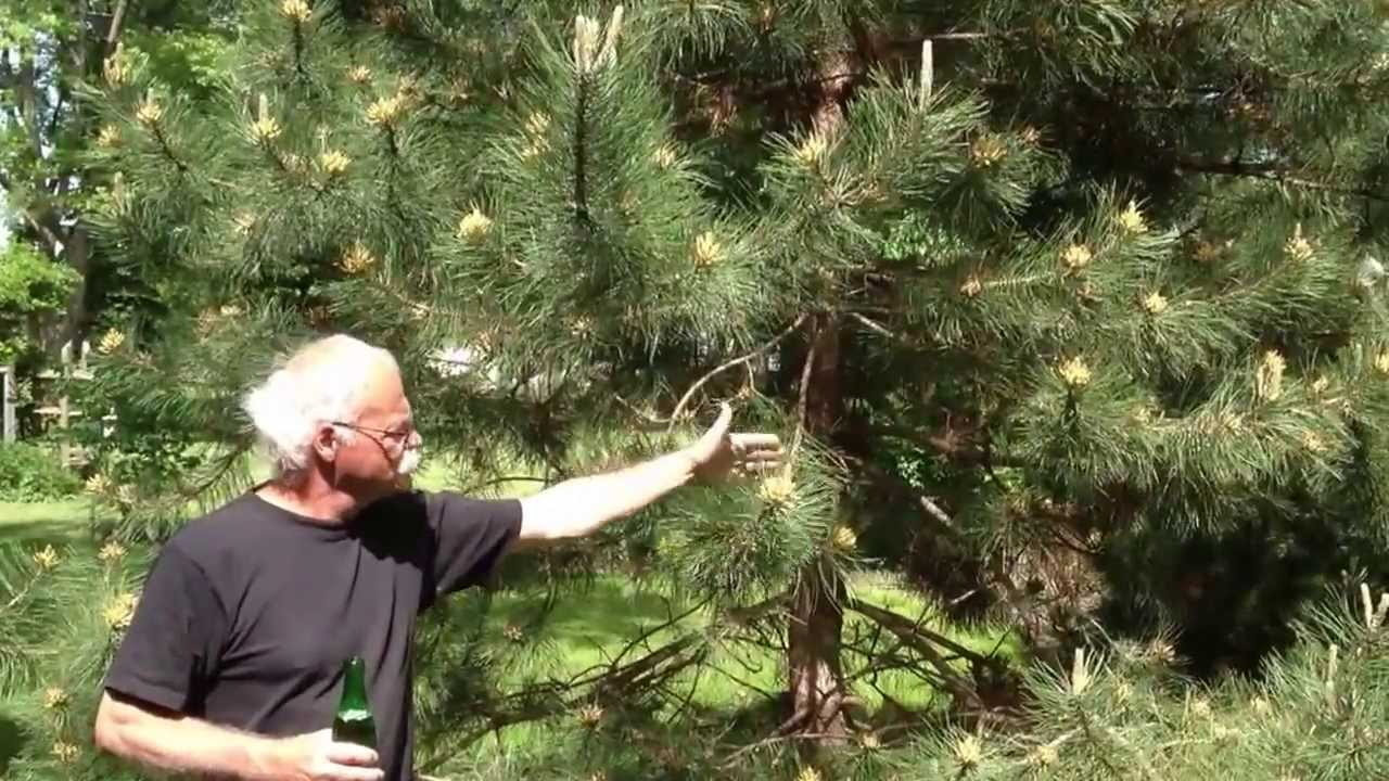 Crazy Pine Tree Pollen!