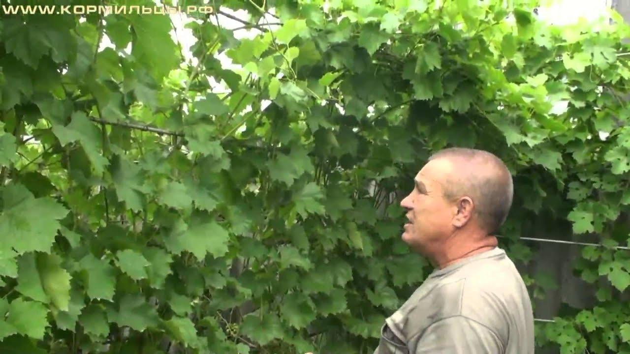 Выращивание огурцов в теплице: процесс выращивания