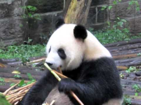Chengdu Research Base of Giant Panda Breeding (成都大熊猫繁育研究基地)