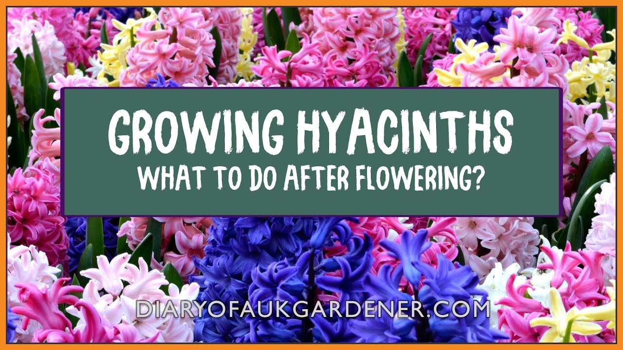 Growing guide hyacinths what to do after flowering spent growing guide hyacinths what to do after flowering spent flowers diaryofaukgardener mightylinksfo