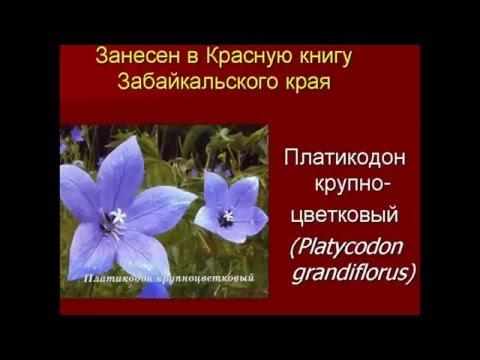 Цветы Забайкалья занесены в Красную книгу.