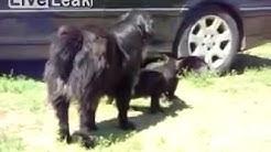 Dogs breaks up cat fight