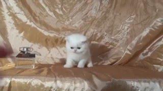 Белый котенок - девочка