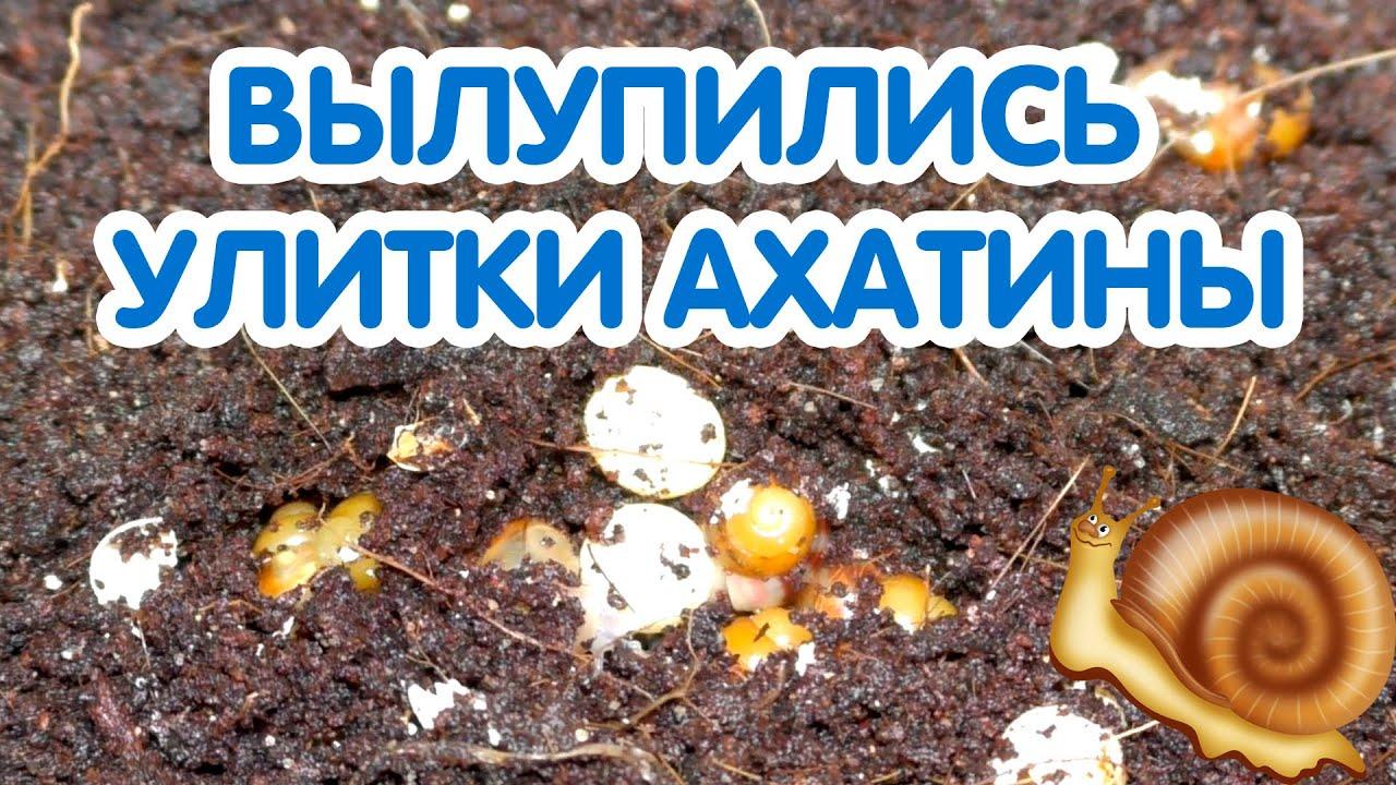 Вылупились улитки ахатины - что делать? Вылупление улиток из яиц.  Новорожденные улитки