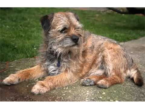 Terrier Dog Breed Types Picture Ideas | Border Terrier