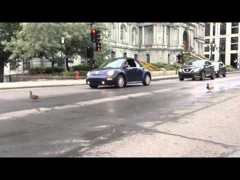 2 ducks stop traffic & walk towards Montreal City Hall where flags fly at half-Staff for Jean Doré