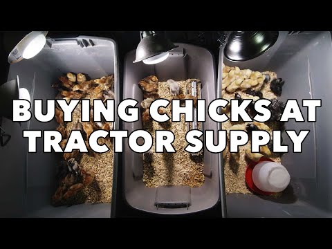 Buying $1 Chicks At Tractor Supply