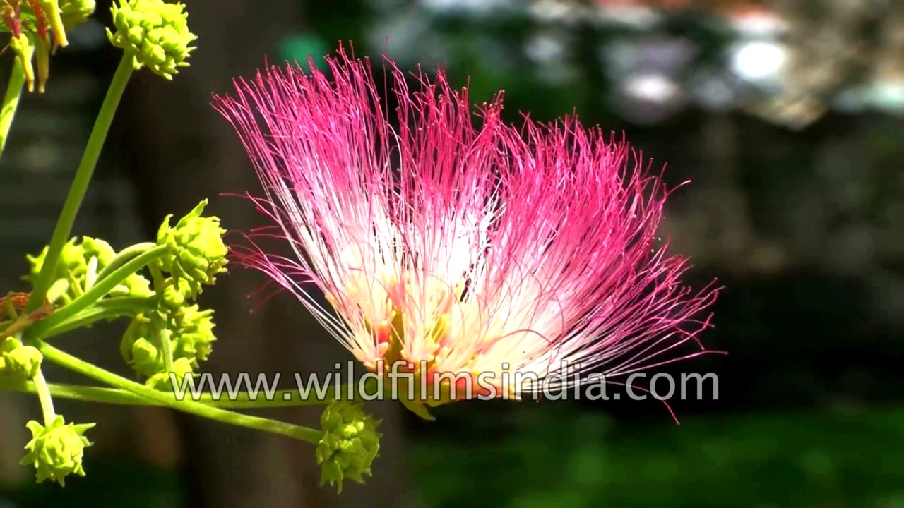 Enterolobium Saman Or Rain Tree A Wide Canopied Indian Tree Youtube