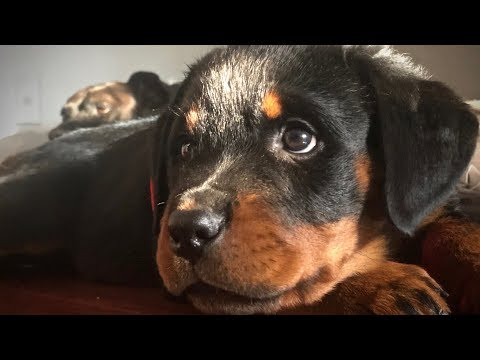 INTRODUCING MY NEW ROTTWEILER PUP