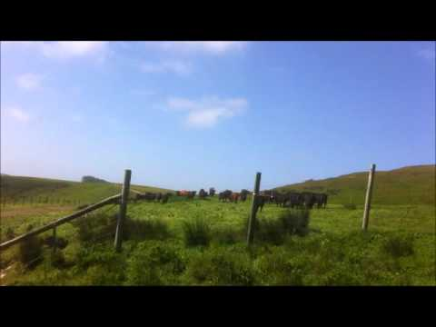 Moving cows to greener pastures at Marin Sun Farms