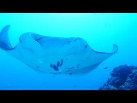 Manta Rays in 4K in Palau