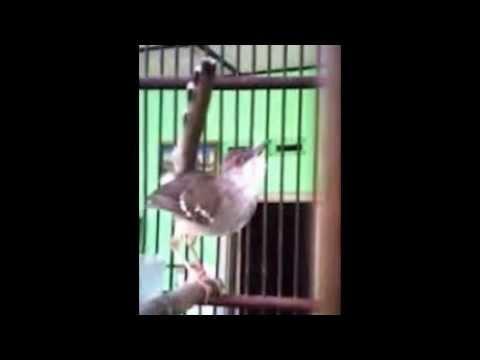 Cara Mudah Membuat Gacor Burung Ciblek