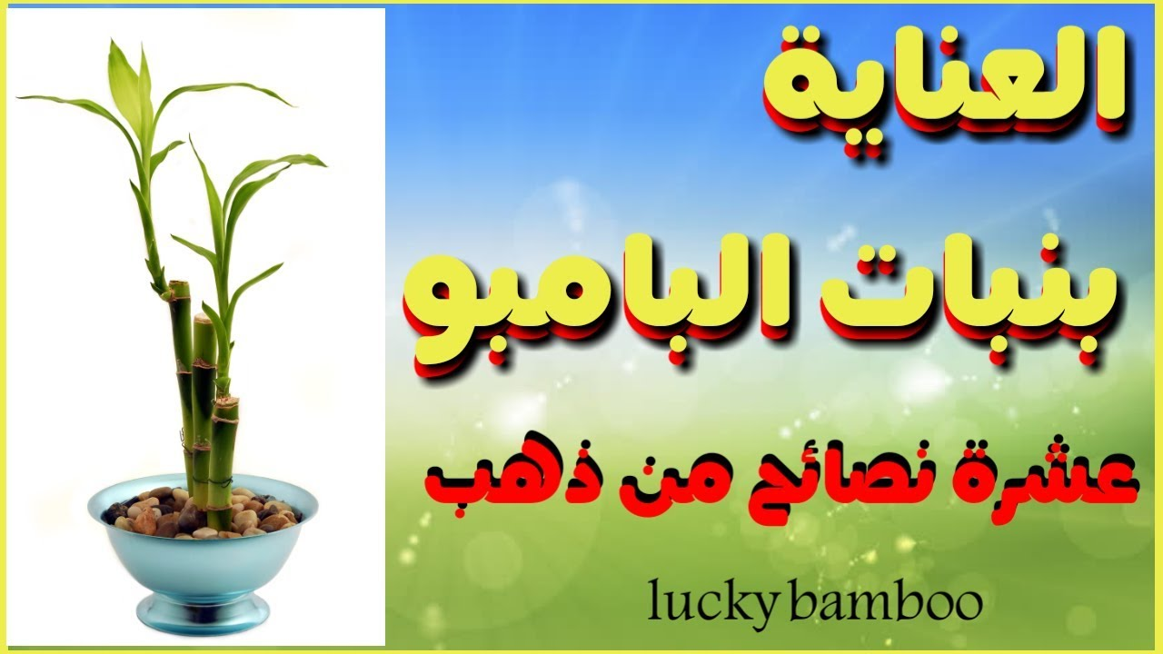 عشرة نصائح ذهبية للعناية بنبات البامبو Lucky Bamboo Youtube