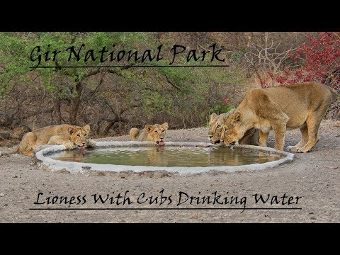 Lioness with Cubs | Lioness Drinking Water | Gir National Park | Sasan Gir
