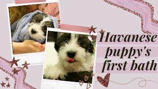 Havanese puppy's first bath  | 9 week old Havanese puppy vlog
